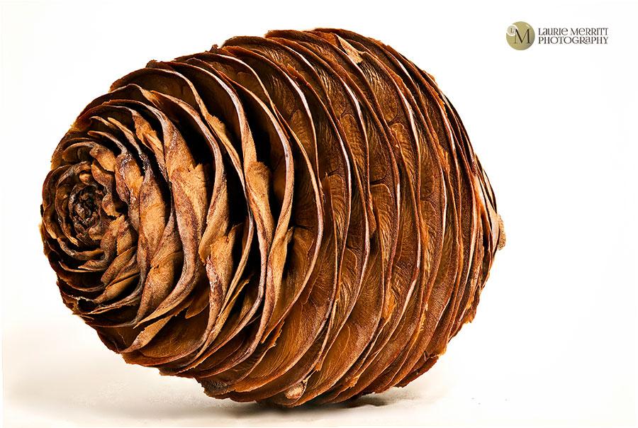 pinecone4-2809-37_900